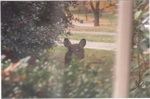 Deer Peeks  In Kitchen Window at Ancient Oak